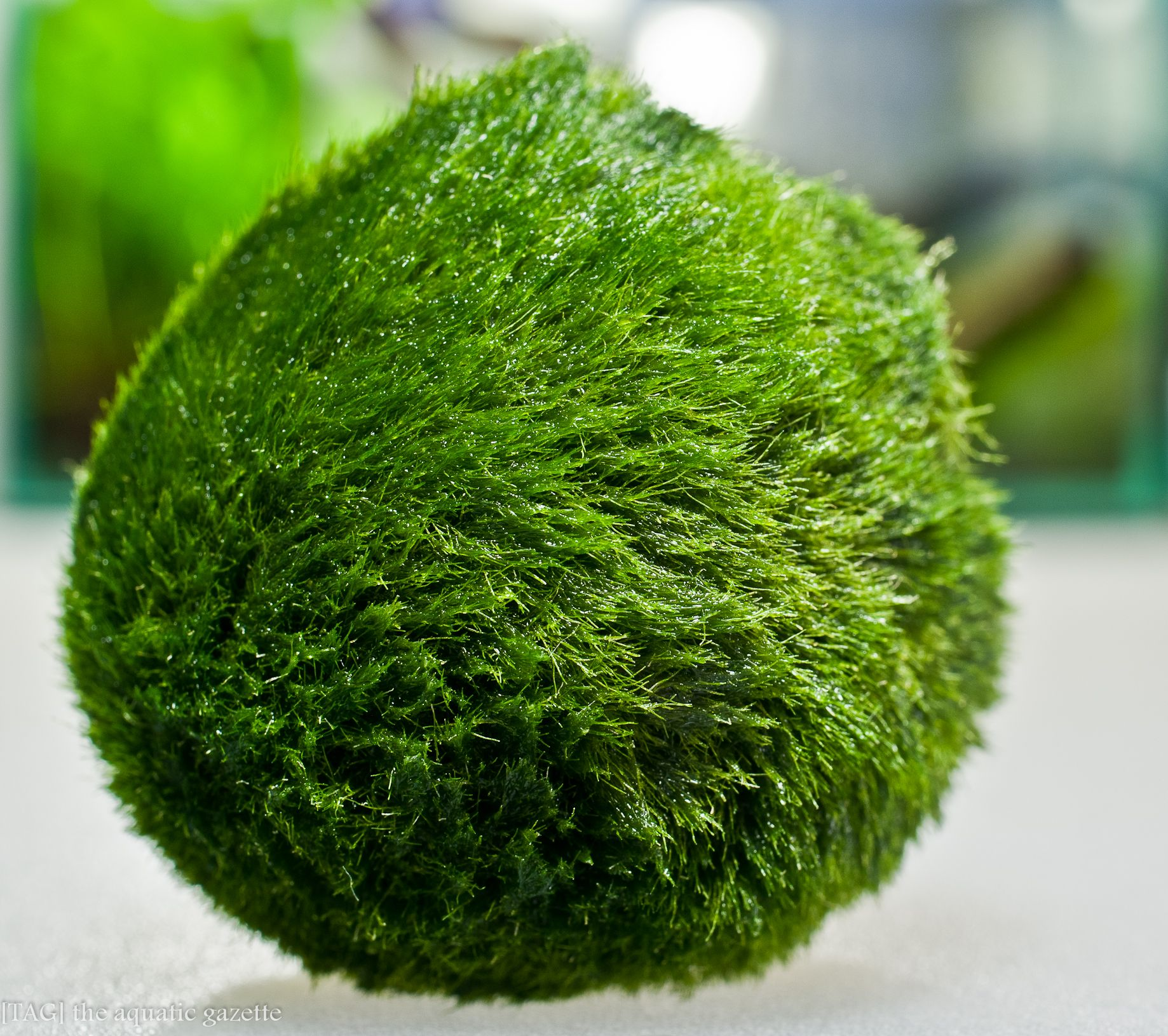 Marimo Moss / Beautiful and very useful for baby fish but dangerous, it can fill the tank with ...