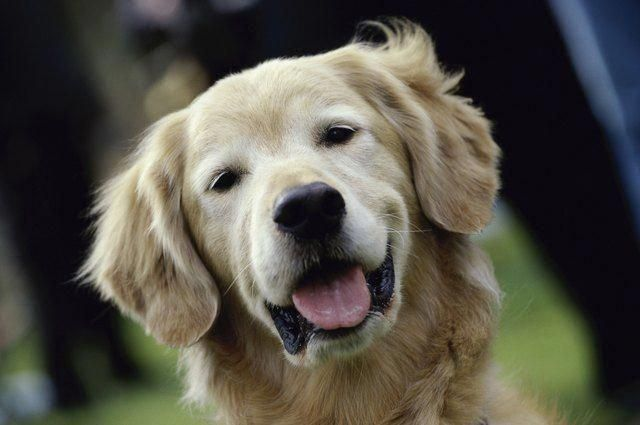 More About The Golden Retriever Pups Grooming