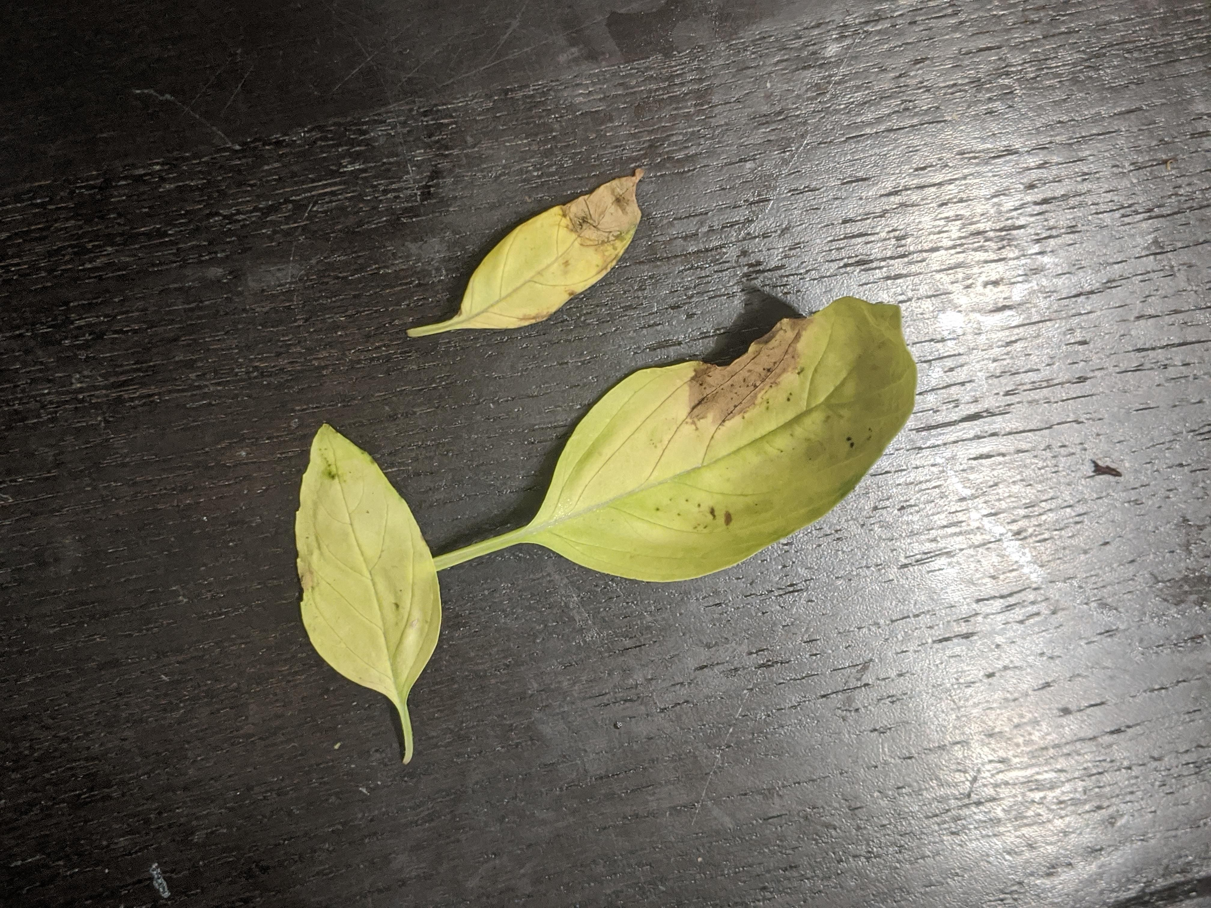 Help Basil Leaves Turning Pale Green Falling Off And With Brown Spots On Some What Could Be Causing This Gardening Ga Basil Leaves Plant Leaves Pale Green
