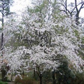 Shidare Yoshino Cherry Sheridan Nurseries Plants Plant Finder