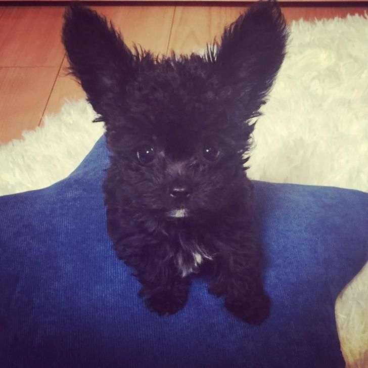 Chipoo Puppy Clemmons Chihuahua Poodle Mix Poodle Mix Puppies
