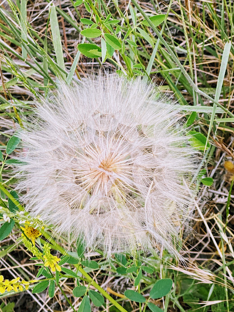 Yellow Salsify In 2020 List Of Endangered Species Yellow Central Europe