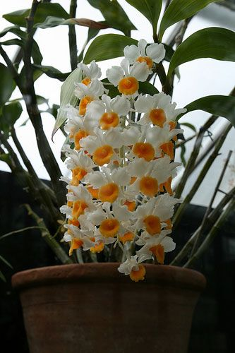 Den Thyrsiflorum Dendrobium Orchids Care Growing Orchids Types Of Orchids