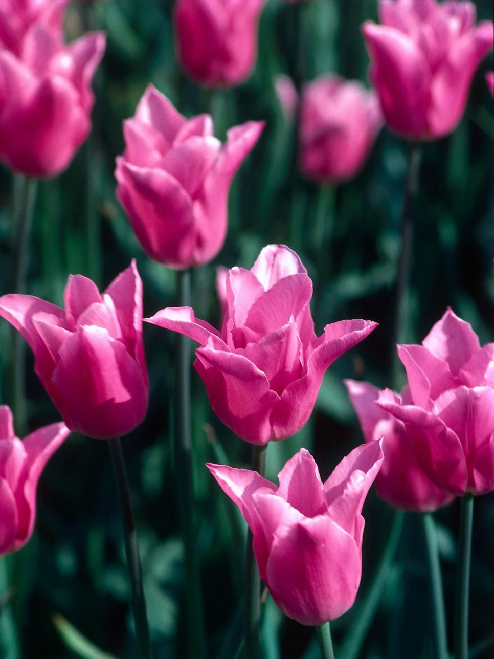 China Pink Tulip Produces Lily Like Blooms The China Pink Produces Lily Like Candy Pink Flowers On Tall Graceful Ste Flowers Colorful Garden Pink Flowers