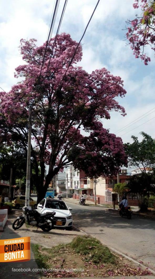 Qué tanto conoces Bucaramanga y su área metropolitana ? Dinos donde se encuentra este hermoso árbol. Gracias  @L30p por la foto #conocebucaramanga