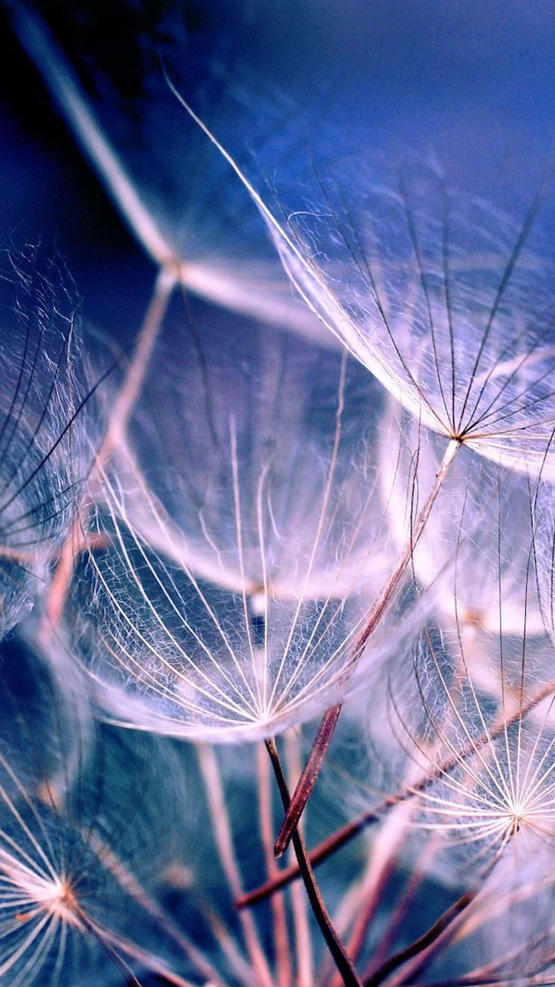 White Dandelions Flower Desktop IPhone 5 Wallpapers, Backgrounds, 640 X 1136