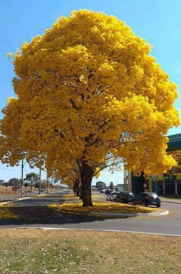 Big yellow tree fascinating autumn oh yell o pinterest yellow big yellow tree fascinating autumn mightylinksfo
