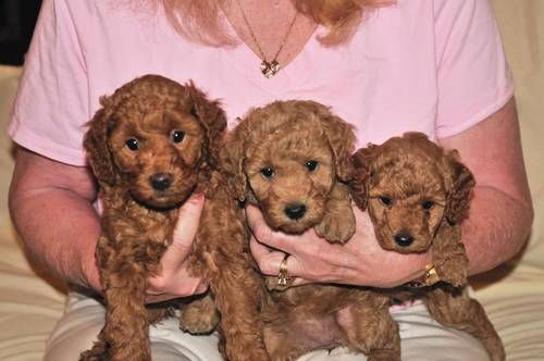 Akc Miniature Poodles 2 Female Puppies 850 Price 850 Address