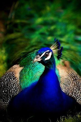amazing teal blue proud as a peacock pinterest peacock bird