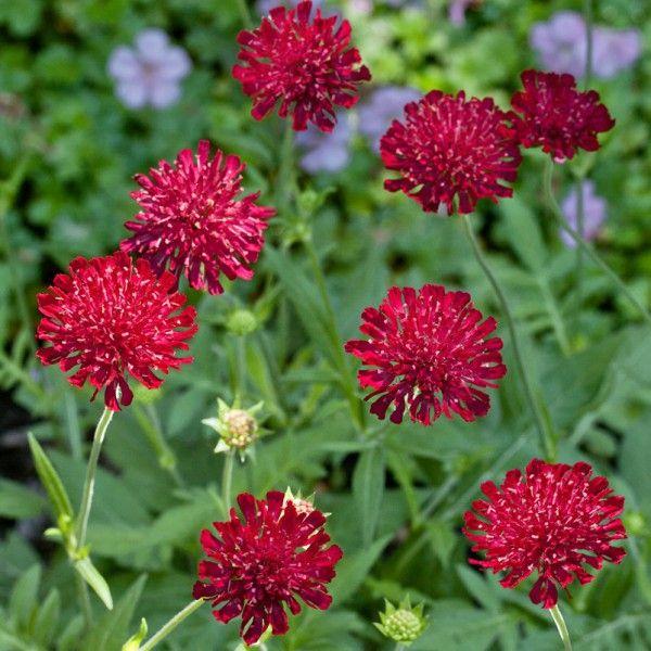Pflanzen Kolle Witwenblume Purpurrot 11 Cm Topf Der Dauerbluher Mit Ausdrucksstarker Blutenfarbe Die Witwenblume Ist Ei Dauerbluher Blumen Bepflanzung