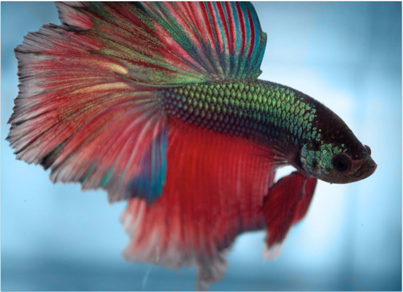 Halfmoon Rosetail Betta Fish