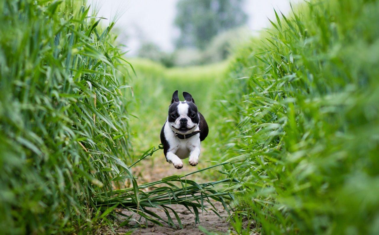 Chien Champ Boston Terrier Saut Animaux Terrier De Boston Chien Terrier De Boston Chiots Boston Terrier