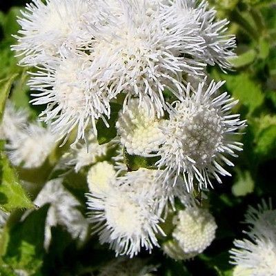 Ageratum white flower seeds ageratum mexicanum white 200seeds ageratum ageratum mexicanum white the ageratum mexicanum variety is smothered with soft puffy white flowers it fills beds quickly and blooms mightylinksfo