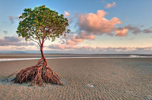 Mangroves are unique and adaptable trees that have the peculiar