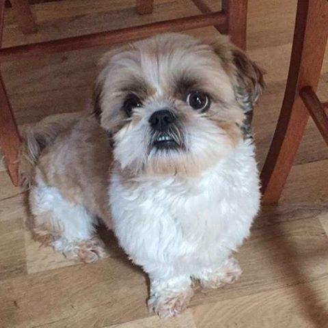 Shih Tzu Dog Breeds Temperament And Interesting History Of Shizi