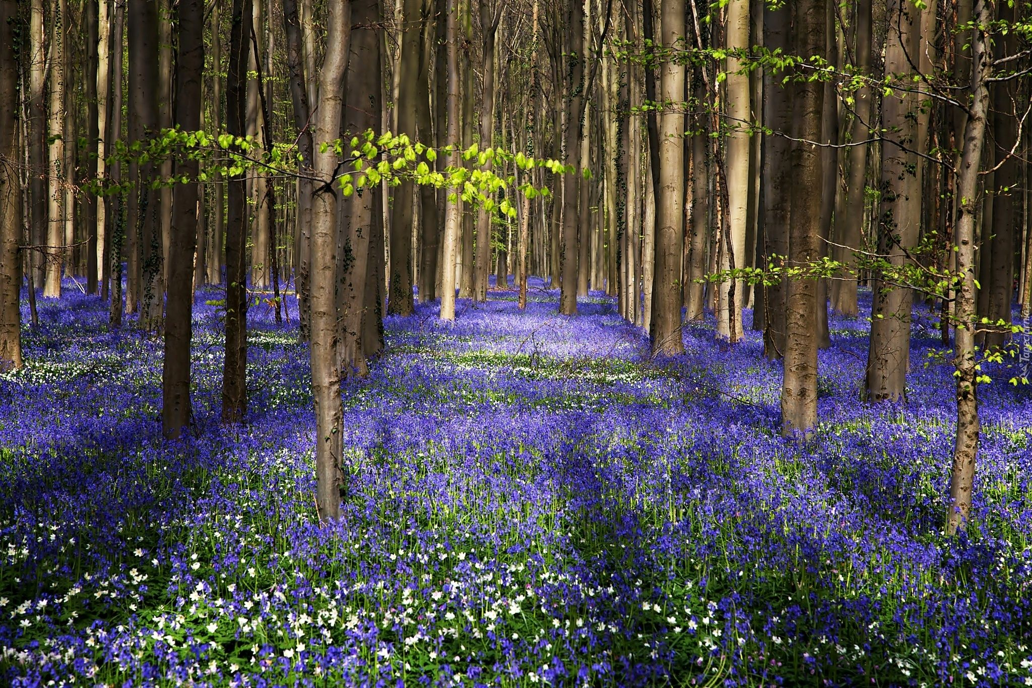 Wiosna Las Drzewa Fioletowe Biale Kwiaty Spring Forest Forest Pictures Lilac Flowers