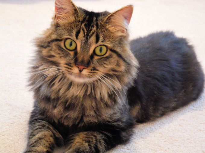 Cool Female Maine Coon Cat Names