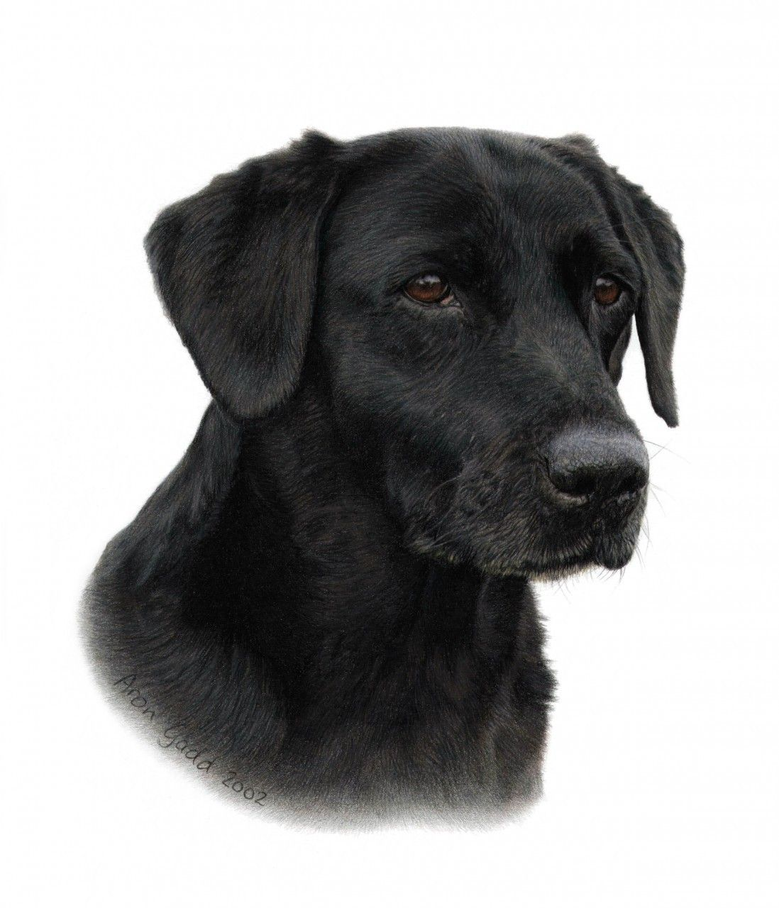 Portraiture Sample of Black Labrador in Coloured Pencil by ...