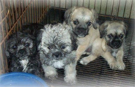Litter Of Pug A Poo Puppies Dog Breeds Pugapoo Hybrid Dogs
