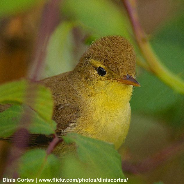 Les oiseaux de nos jardins l 39 hypola s polyglotte parmi for Oiseaux de nos jardins
