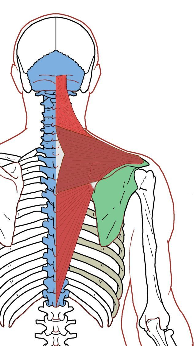 Trapezius – Functional Anatomy | muscles | Pinterest | Thoracic ...
