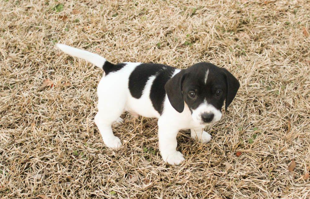 Adopt Jastin Adopted On Adoptable Beagle Dachshund Mix Pets