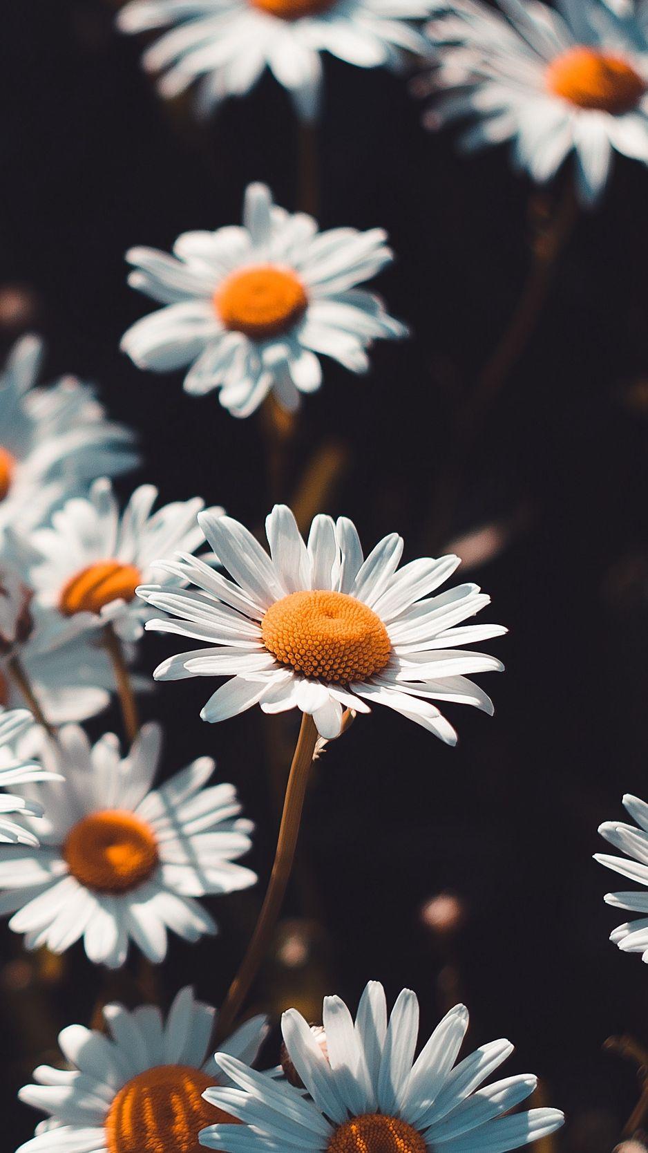 938x1668 Обои ромашки, цветы, полевой, цветение ...
