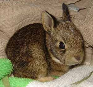 Eastern Cottontail Rabbit at Mississippi Wildlife Rehabilitation Rescue Animals