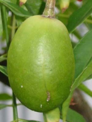 Golden Apple Guyanese Fruits Pinterest Apples