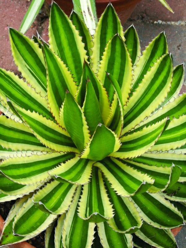 agave Immergrüne Gartenpflanzen, Sträucher und Hecke für eine - gartenpflanzen