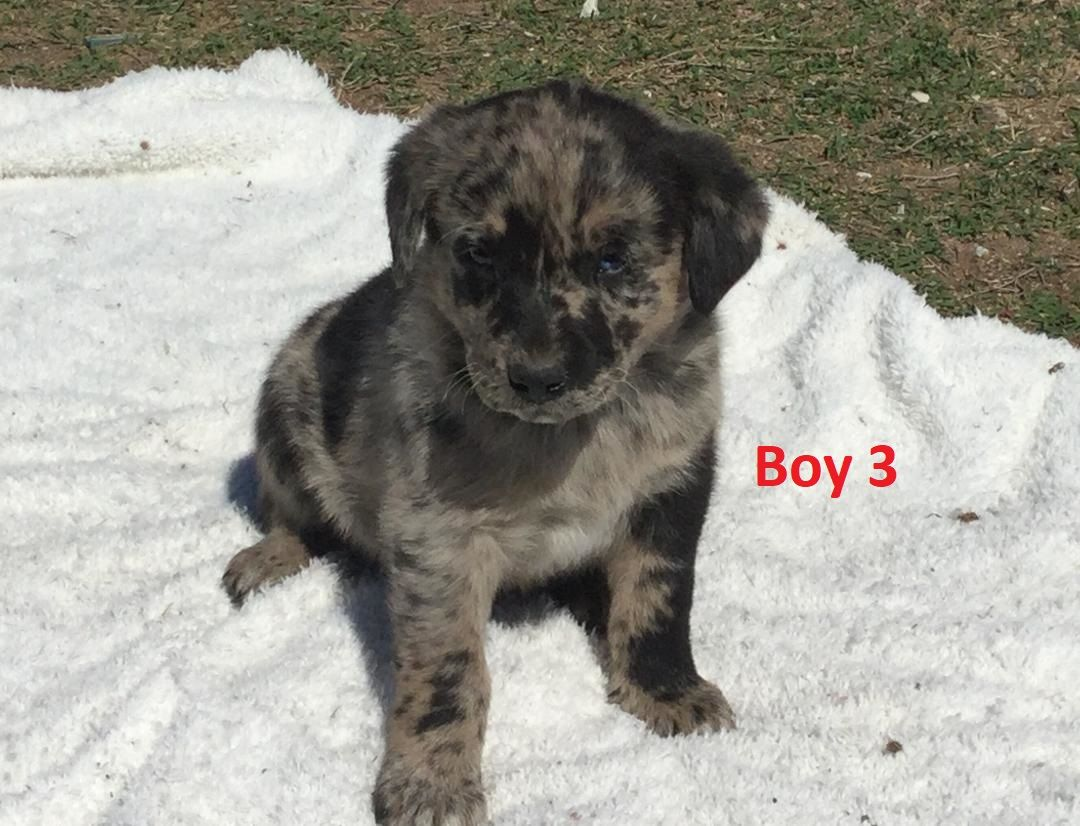 Labrador X Koolie Boy I Am Arriving Into Store 27 September I Am 6 Weeks Old In This Photo You Can Call The Shop On 073855 Puppy Palace New Puppy Puppies