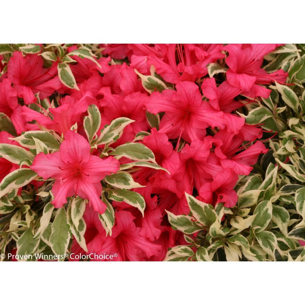 Bollywood Azalea Rhododendron Live Evergreen Shrub Pink Flowers