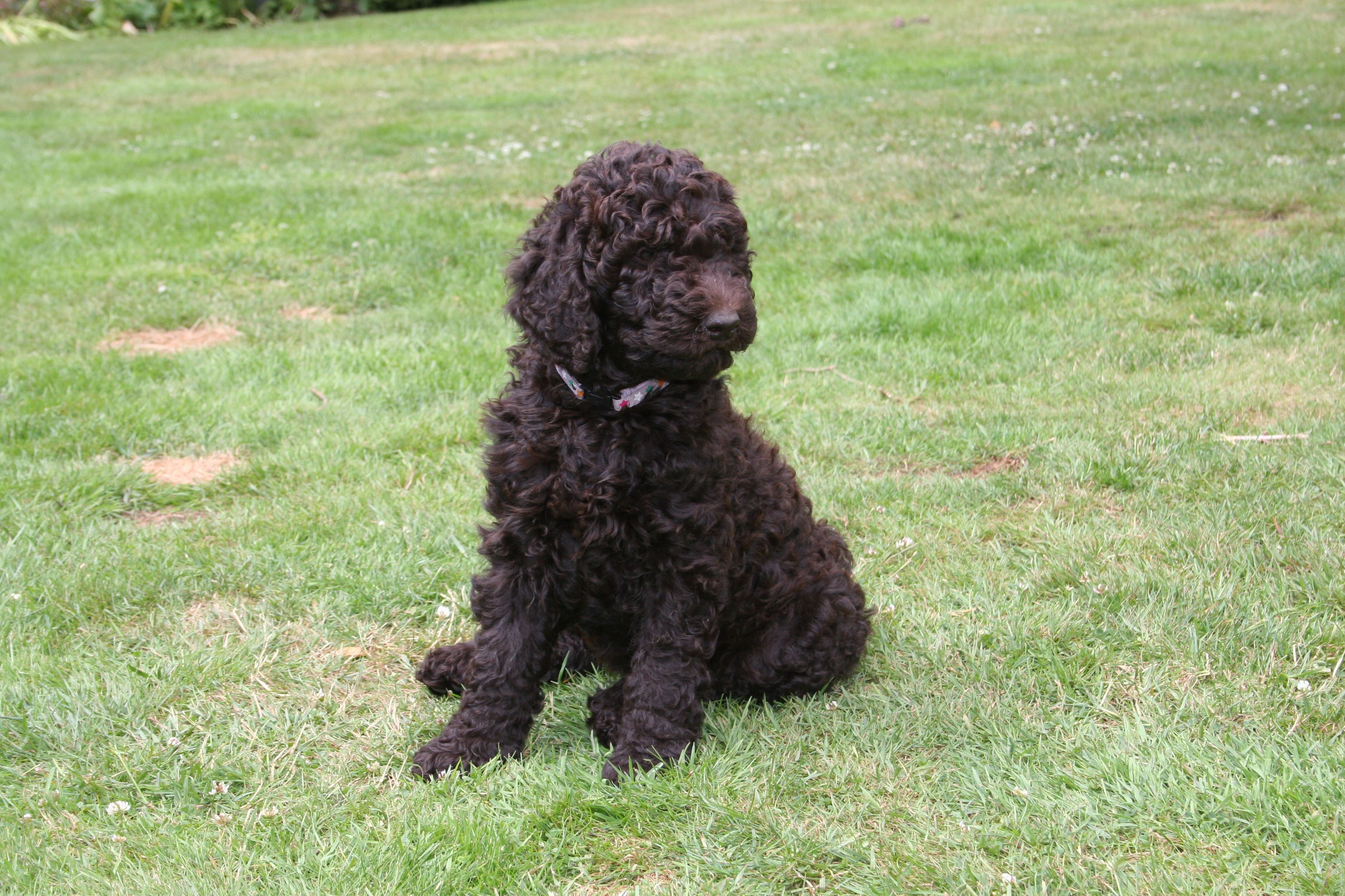 chocolate brown poodle puppy  'Stratinnan Aria'