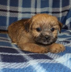 Shimorkie Puppy For Sale Davey Jpg With Images Puppies New Puppy Pets