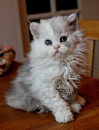 Selkirk Rex British Shorthair Haired Kittens Kittens For Sale Pretty Cats Selkirk Rex Kitten For Sale