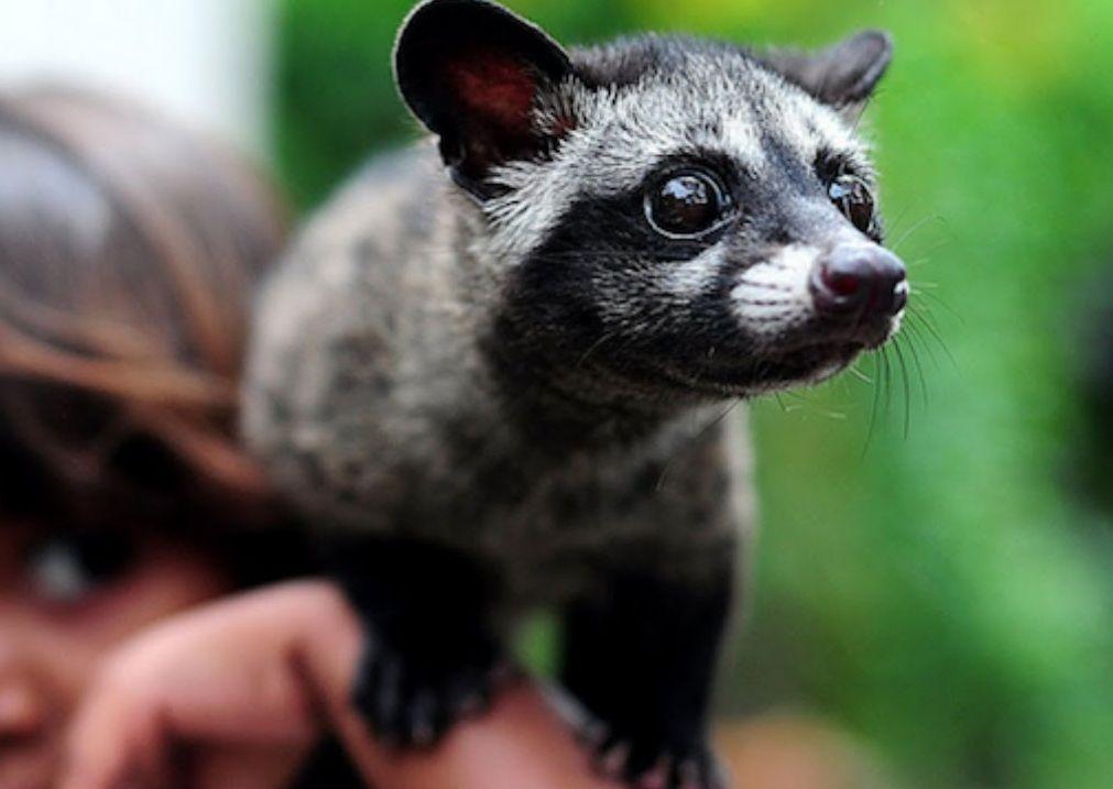 Asian Palm Civet - Pictures, Diet, Breeding, Life Cycle, Facts ... | Asian  palm civet, Cat facts, African civet