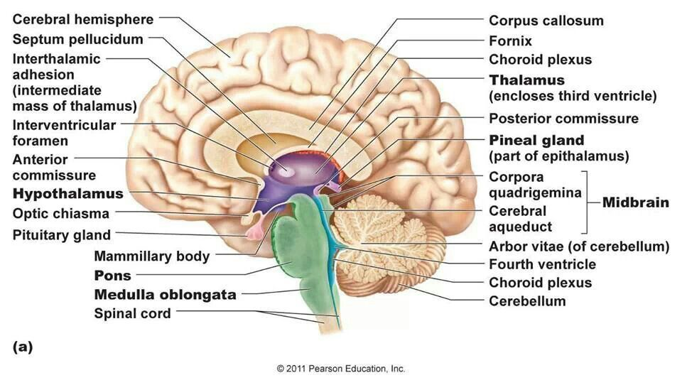 Position Of The Pineal Gland Science Pinterest Brain Stem