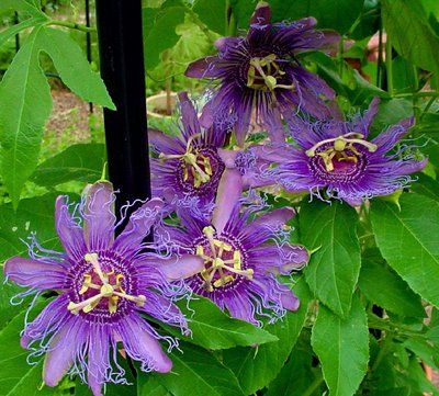 Passion Vine Passiflora An Evergreen Vine Which Rapidly Spreads To 20 6 09 M Or More This Vine Grows By Tendr Passion Vine Flowering Vines Garden Vines