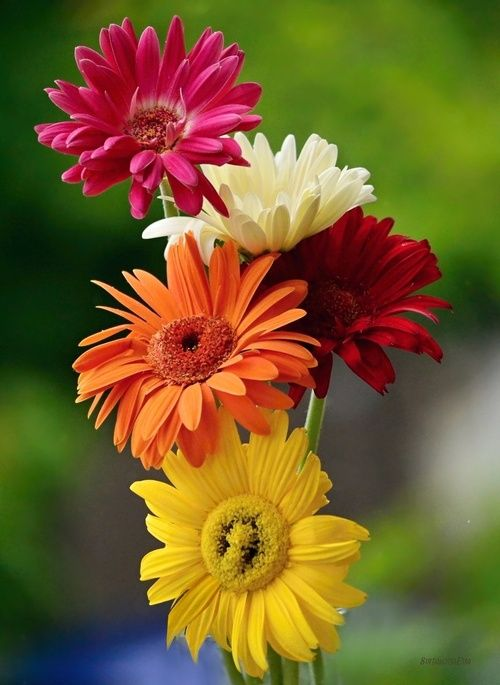 Gerberas Love These Colors Oh I Love All Colors Of This Daisy Happy Flowers Amazing Flowers Beautiful Flowers