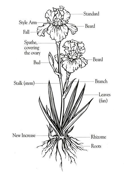 Iris Care Tips On Growing Maintaining Bearded Iris Yard My Secret Garden Schwertlilie Iris Zeichnungen