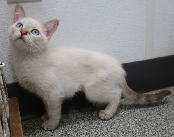 Harper Siamese Cat for Adoption in Ottawa, Illinois