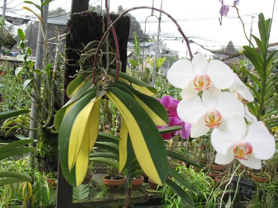 Prospek Dan Manfaat Anggrek Phalaenopsis Amabilis Menanam Bunga Tanaman Penanaman Kembali