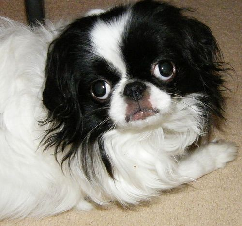 Boston Terrier Japanese Chin Mix Made In America Japanese Chin