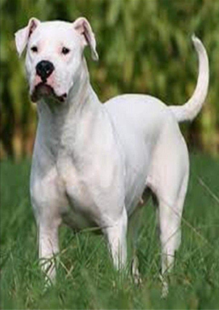 Dogo Argentino With Images Dog Argentino Dogs Dog Breeds