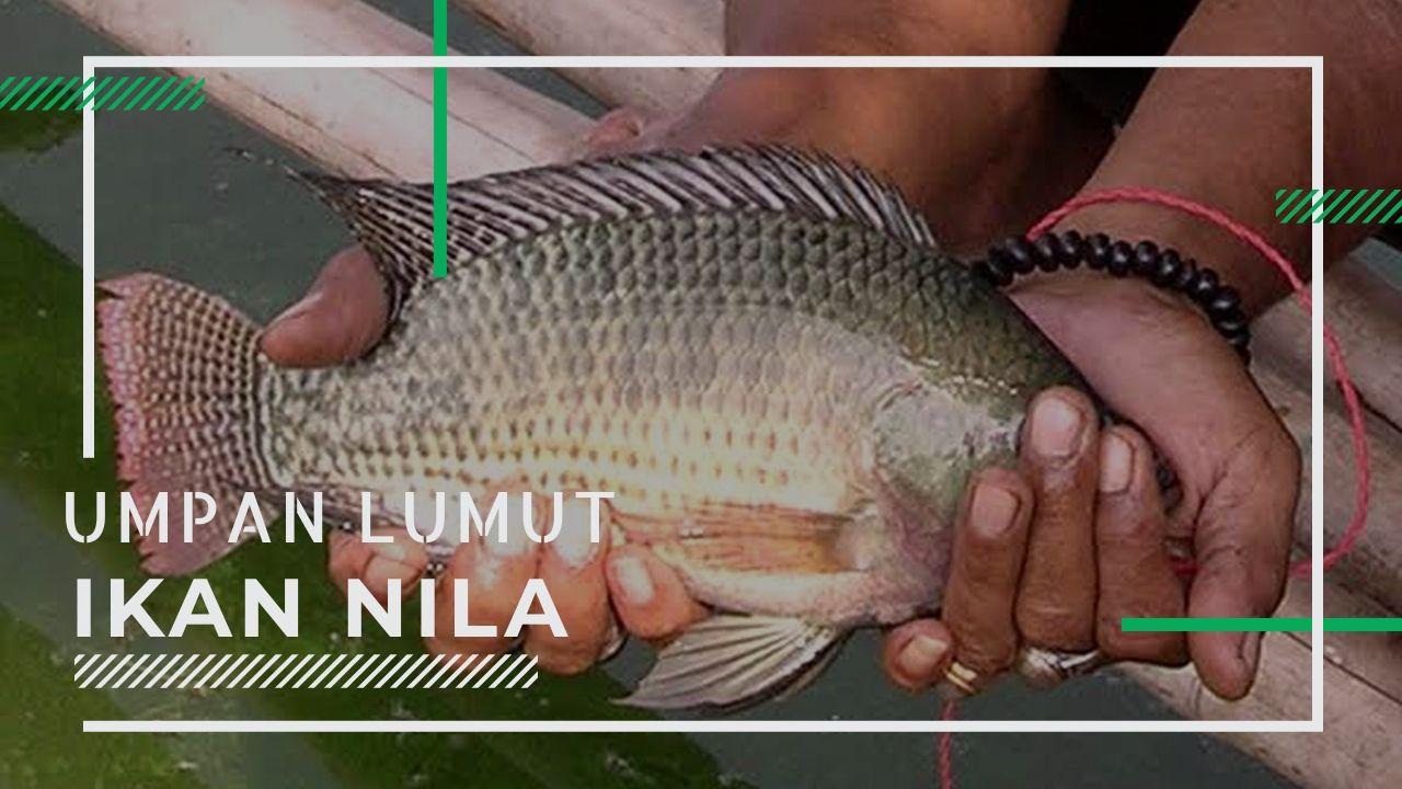 Cara Bikin Umpan Ikan Nila Media Lumut Essen Ikan Memancing