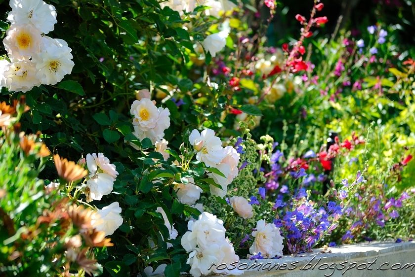 751b4ee694480150ea640d3b83540641 - Pictures Of Rose Gardens With Companion Plants