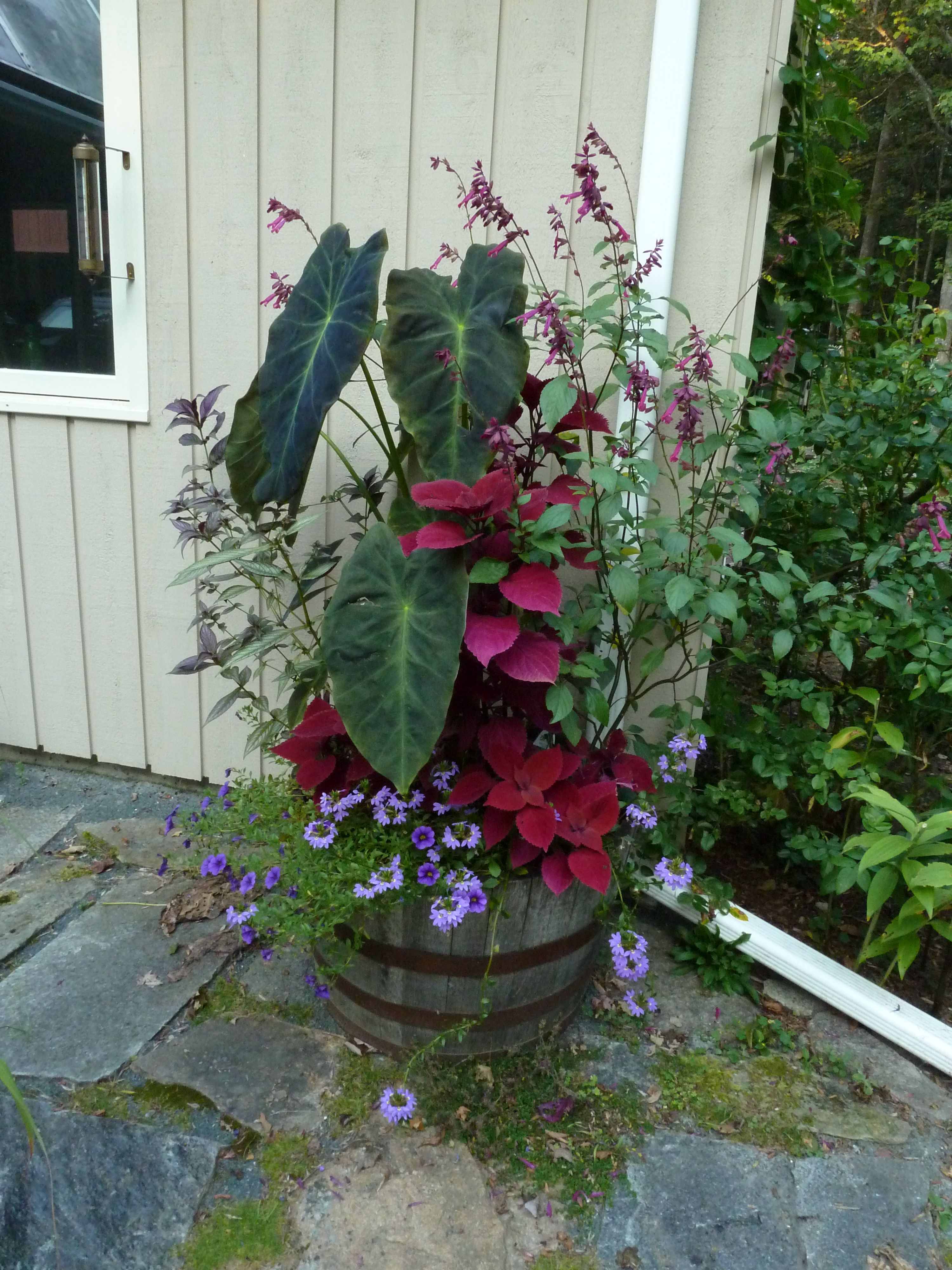 Elephant ear planter container gardening plants