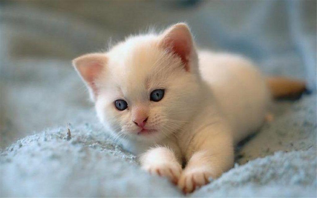 Fond D Ecran Gratuit A Telecharger Un Mignon Chaton Blanc Sur Un Lit In 2020 Cute Baby Cats Kittens Cutest Baby Cats