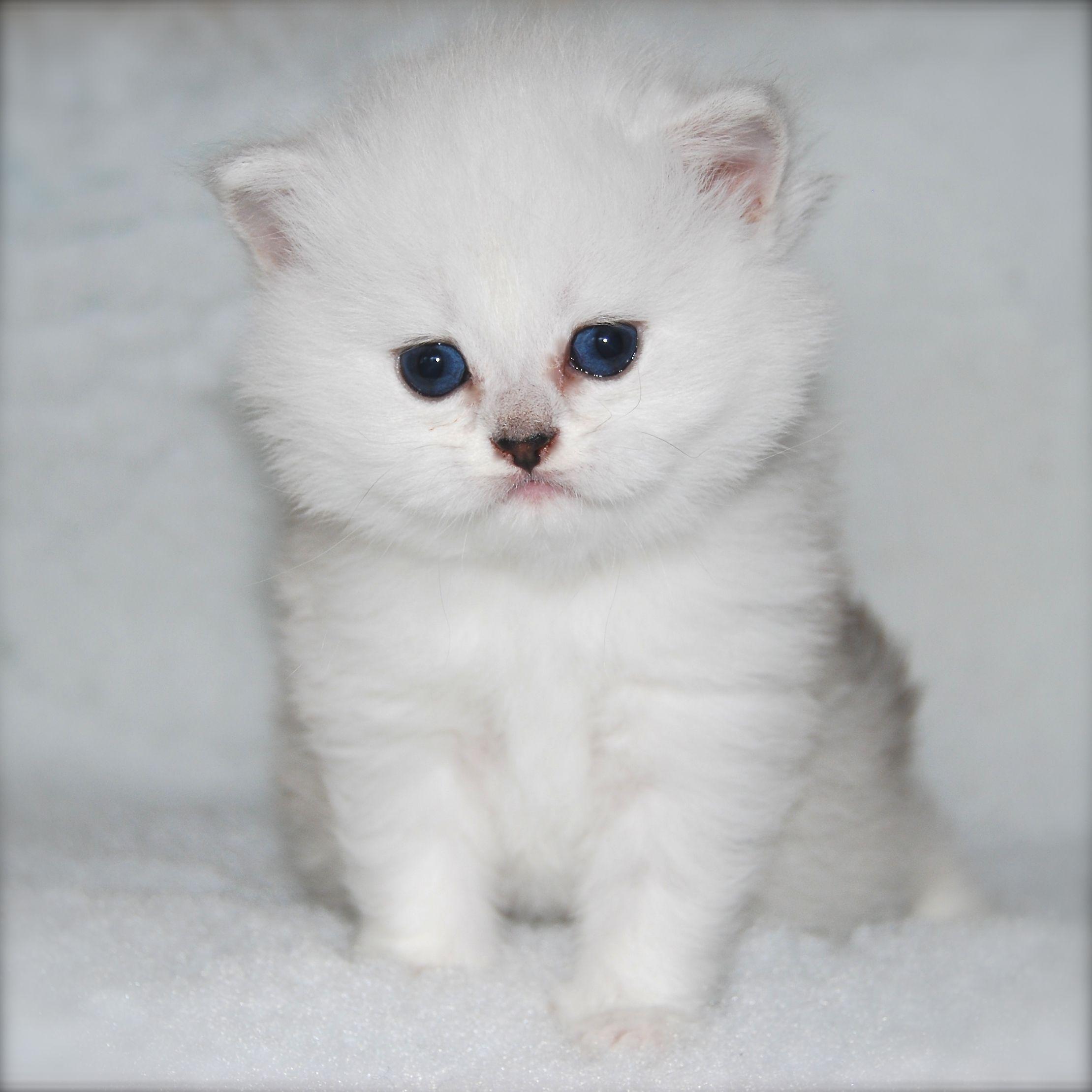 Snow Lion British Longhair Kittens British Shorthair Cats Snow Lion