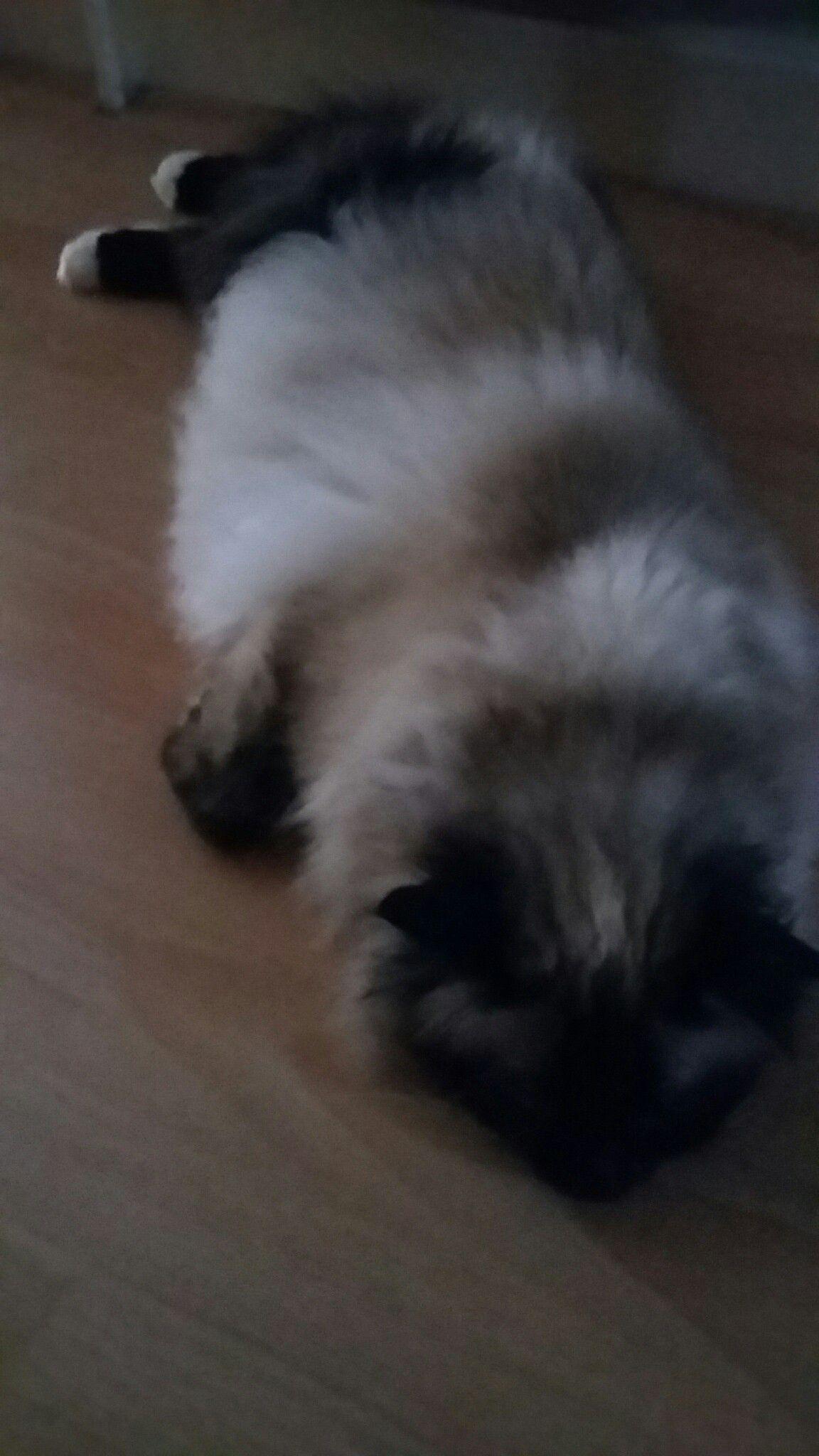 Pin on fluffy birman cat